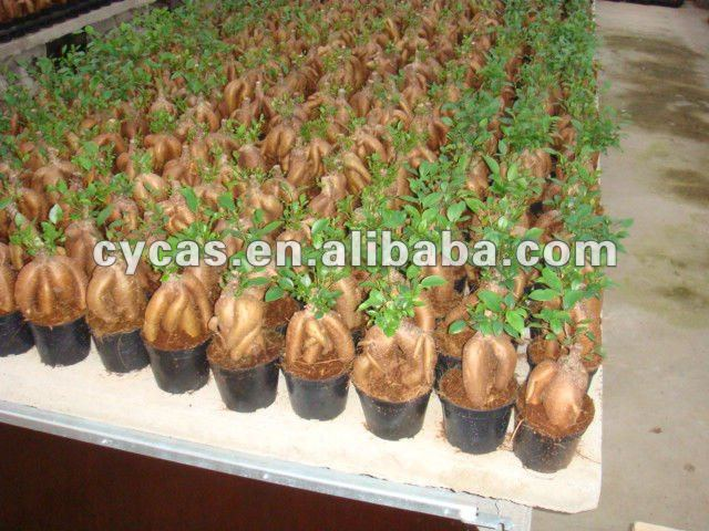 ficus ginseng usines de floraison id de produit 209465198. Black Bedroom Furniture Sets. Home Design Ideas