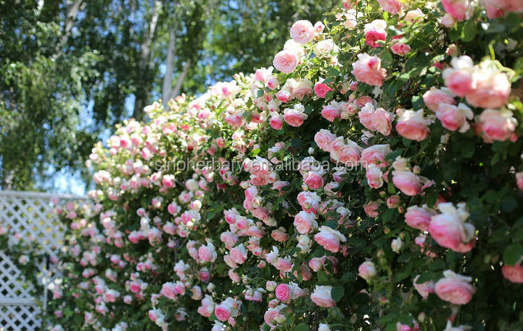 High Germination Flower Seeds Climbing Roses Seeds For Sowing