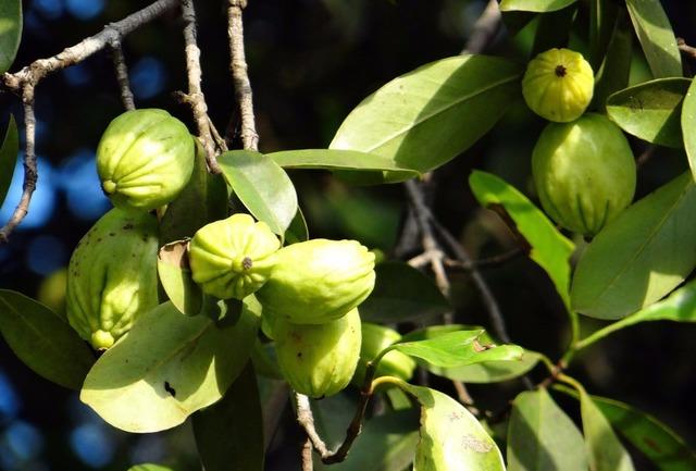 Source Garcinia Mangostana Seeds Extract Garcinia Cambogia Fruta