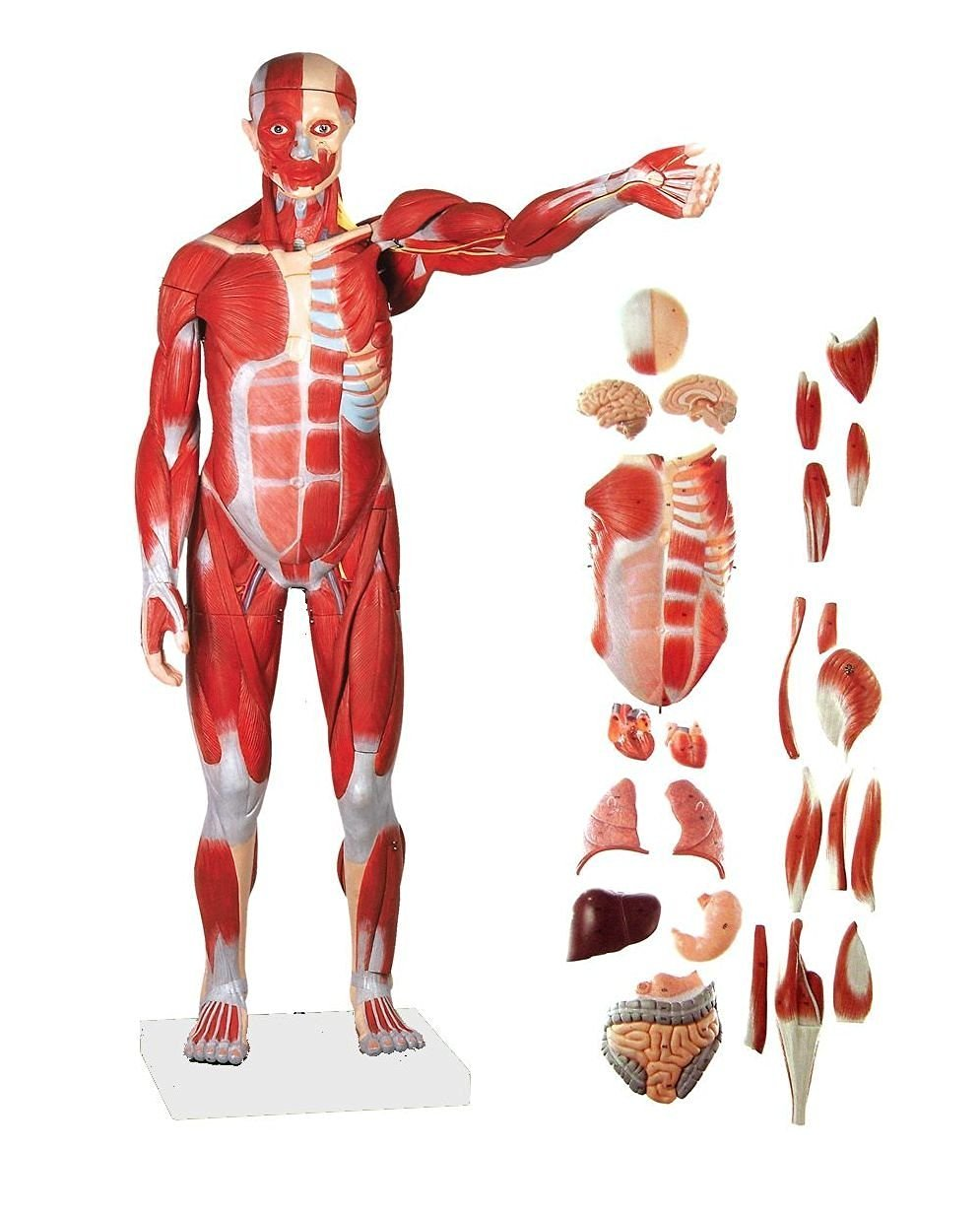 Buy Axis Scientific 27-Part Half Life-Size Muscular Figure in Cheap ...