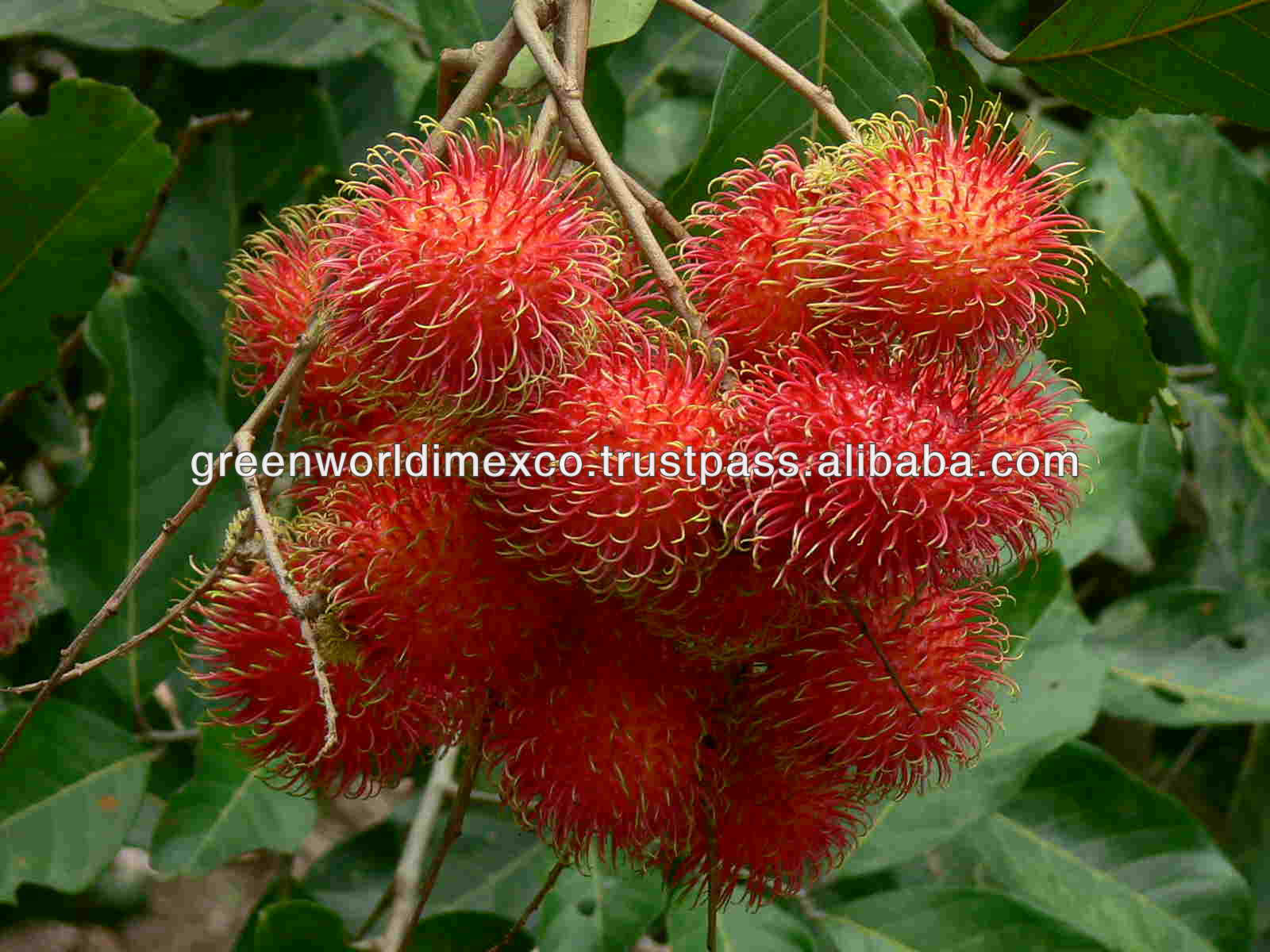 FRESH SWEET TASTY RAMBUTAN WITH BEST PRICE FOR NOW !