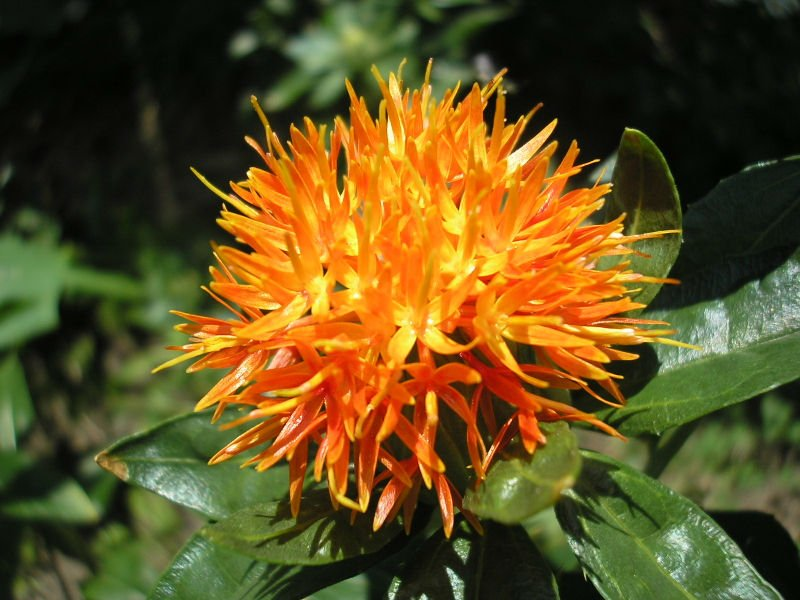 Safflower Extract WITH Conjugated Linoleic Acid FFA 40%