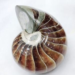 Natural mineral snail specimens fossil conch ammonite fossil for chakra