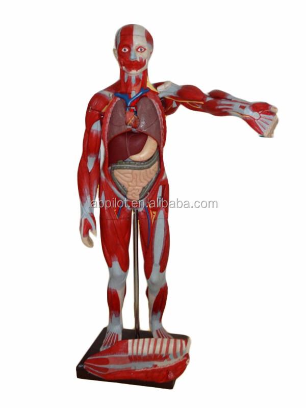 Deluxe 170-cm Anatomía Humana Órganos Modelo,Cuerpo Completo Musles ...