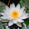 Shui Lian plant seeds Water Lily seeds