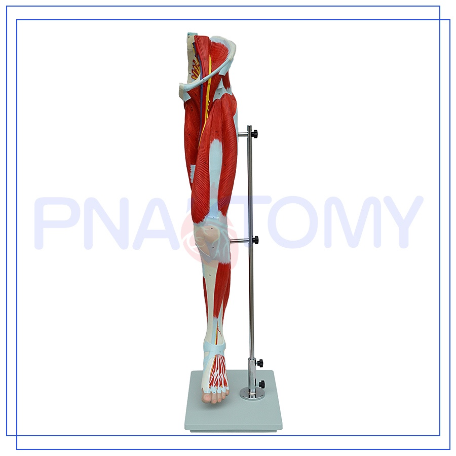 Pnt 0332 Professional Leg Muscle Anatomy Model Of New Structure