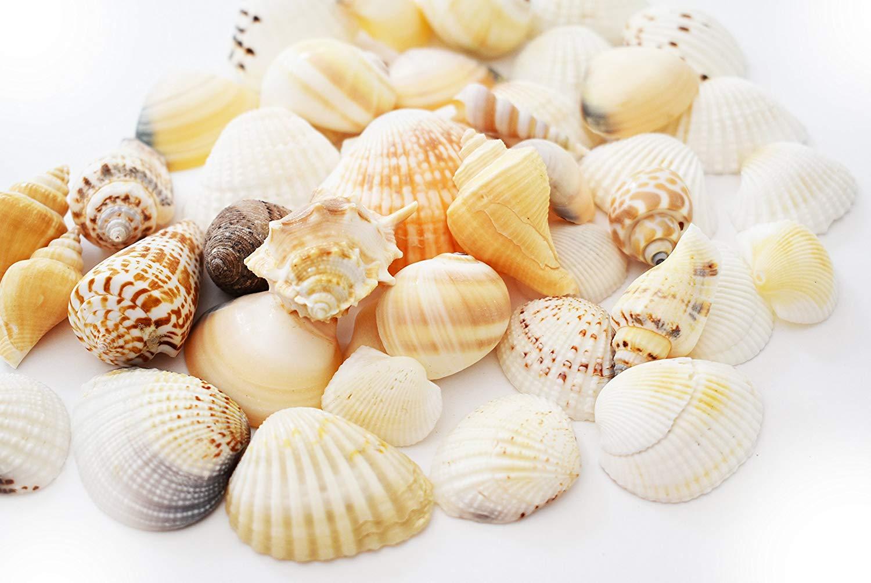 "Florida Shells and Gifts Inc. 1/2lb (50) Indian Ocean Shell Mix (1""-2""/25-50mm) Beach Decor Ocean Art Craft"