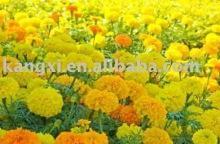 2012 100% natural marigold extract lutein UV