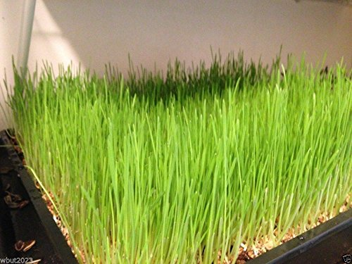 Organic Hard Red Wheat Seed,Grow Wheatgrass,Flour,Grain,Bread, (1)