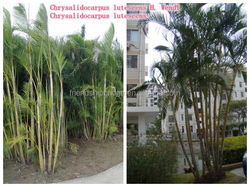 Natural Outdoor Green Decrotive Ornamental Landscaping Palm Trees ...