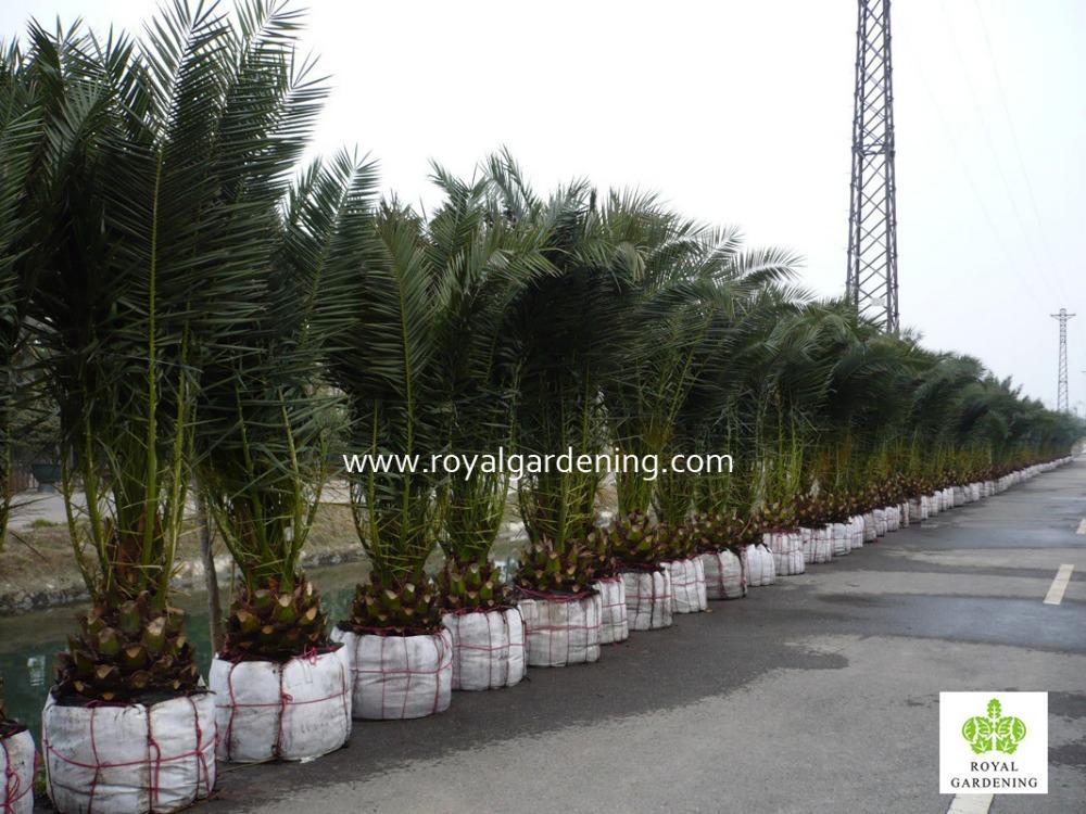 Phoenix Canariensis Palm Tree Nursery