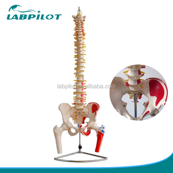 New Style Anatomical Spine Model With Pelvis And Muscles Anatomy ...