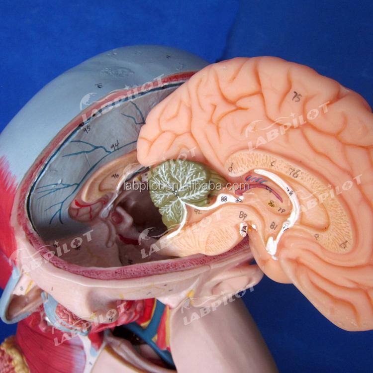 Erweiterte Menschlichen Anatomie Torso Modell mit Muskeln und Organe ...