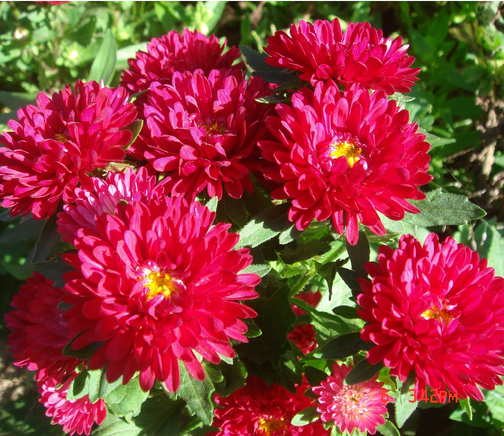 Aster Flower Seeds, Aster Flower Seeds Suppliers and Manufacturers ...