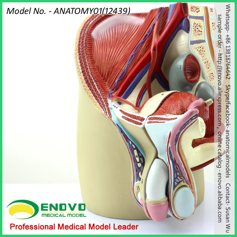 Sell 12439 Life Size Male Section Anatomical Model 4 Parts Anatomy ...