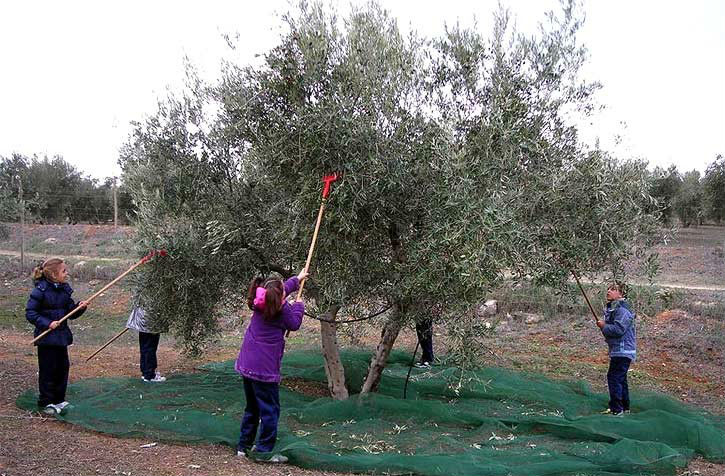 24 sticks head olive harvest machine