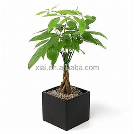 Money tree--Pachira Macrocarpa 5 braids 20cm Pachira macrocarpa of indoor outdoor ornamental bonsai plants