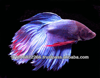 Wholesale betta fish ornamental fish buy betta siamese for Best place to buy betta fish