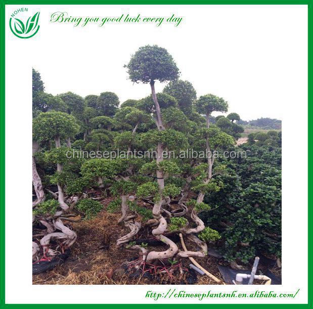 Outdoor Large Bonsai Tree Bonsai Tree