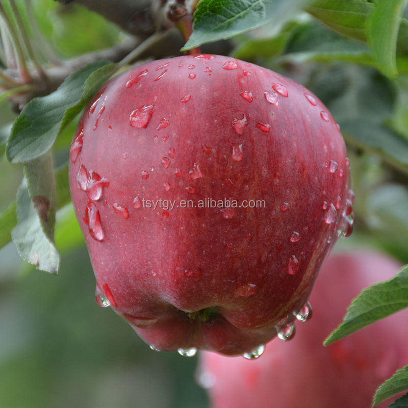 Red Delicious apple Huaniu apple Brand YiTian Fresh Red Delicious apple