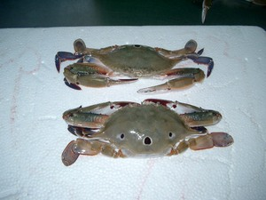 frozen redspot swimming crab