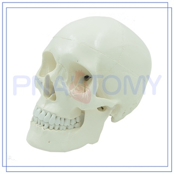 Pnt-0150 3 Parts Classic Human Skull Model - Buy Skull 3d Model,Plastic  Skull Model,Anatomical Model Product on Alibaba com
