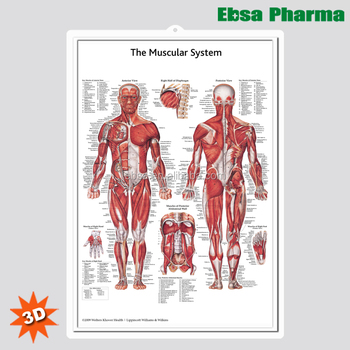 3D Medical Human Anatomy Wall Charts / Poster - The Muscular System