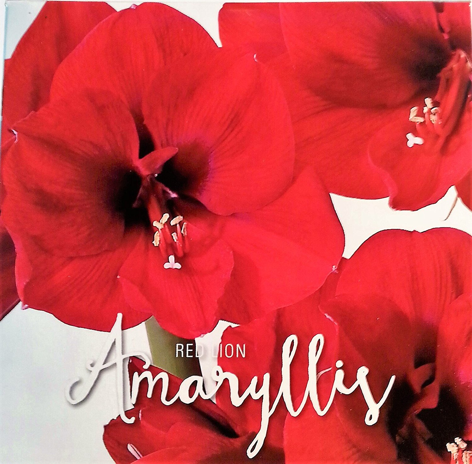 Cheap Amaryllis Red Find Amaryllis Red Deals On Line At Alibaba