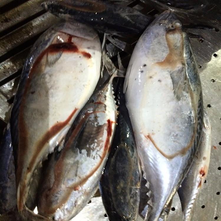 China manufacturer dried bonito fish buy dried bonito for Bonito fish flakes