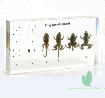 Qianfan Frog Development Educational Embedded Specimen Learning Resources