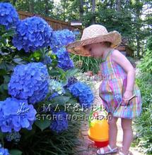 10 Blue Hydrangea Flower seeds,beautiful color ,wedding party flower plant