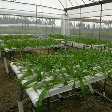 tomato growing greenhouse hydroponically