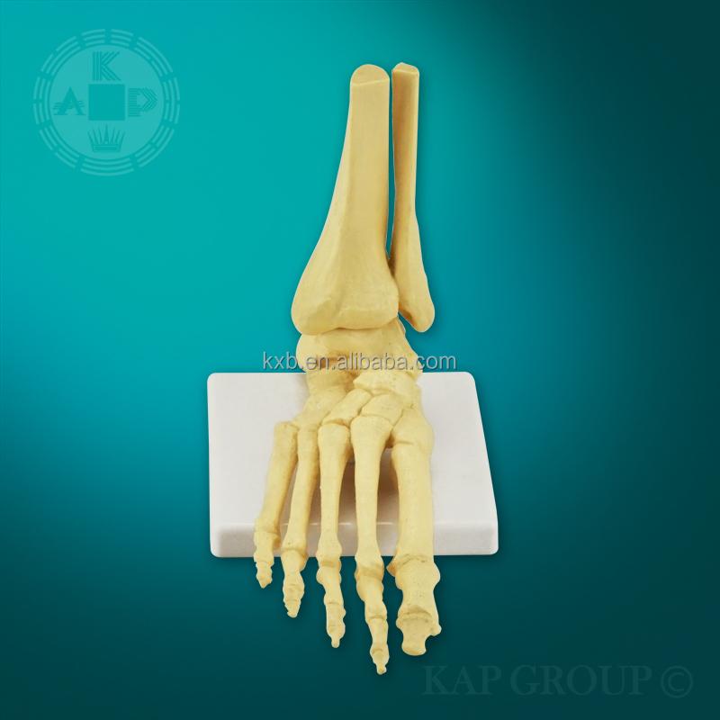 Médico Anatómicos De Pie De Plástico Hueso Modelo De Esqueleto ...