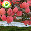 2017 top quality Fuji apple vegetable and fruit company name