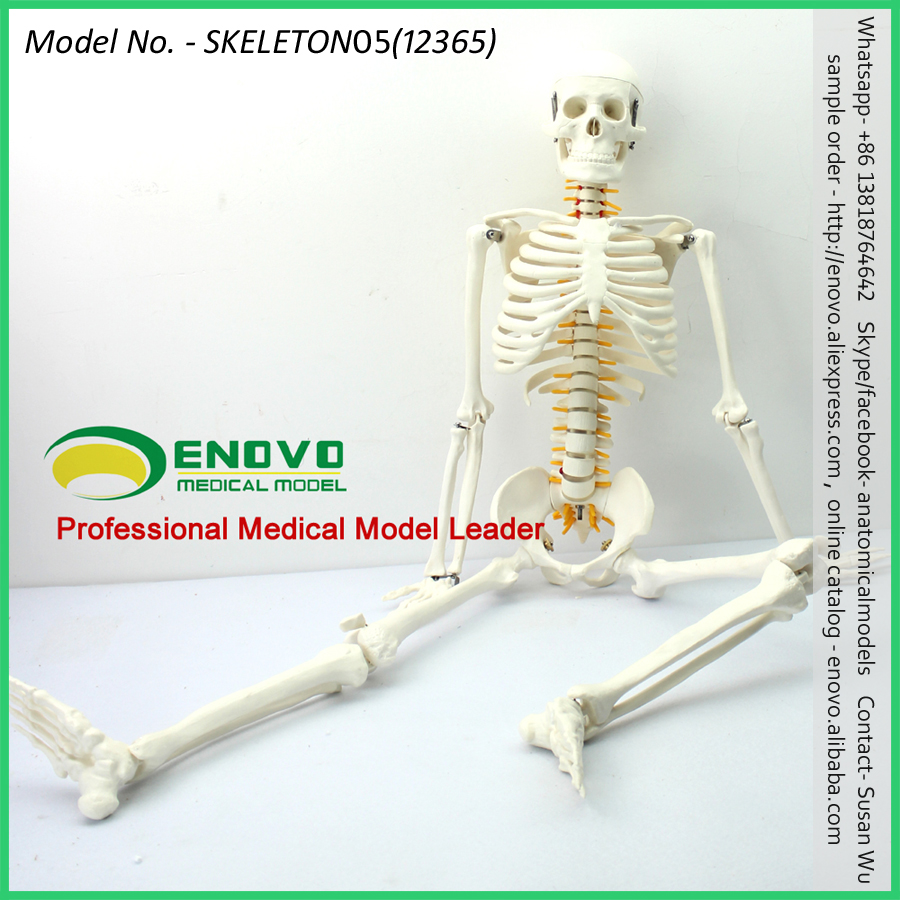 12365 Mini 85cm Spinal Anatomy Skeleton Teach Model,Medical ...