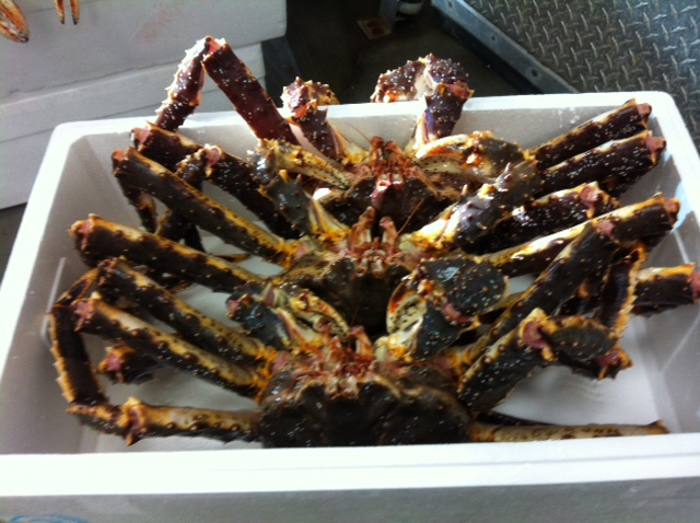 Alive Norwagian king crabs