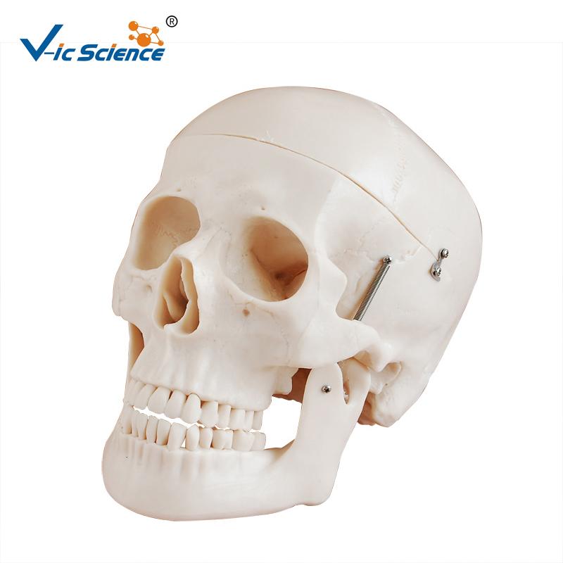 Hot sale Human skull model , the model of the skull,anatomy skull model