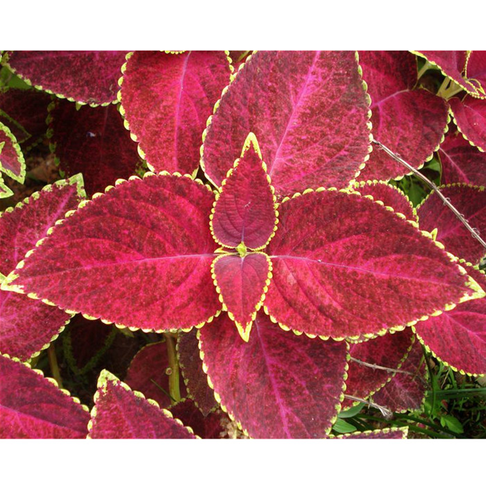 Professional Plant Nursery Supply Coleus Seeds For Growing Flower Decorative Names Of Flowering Plants Flowers Used