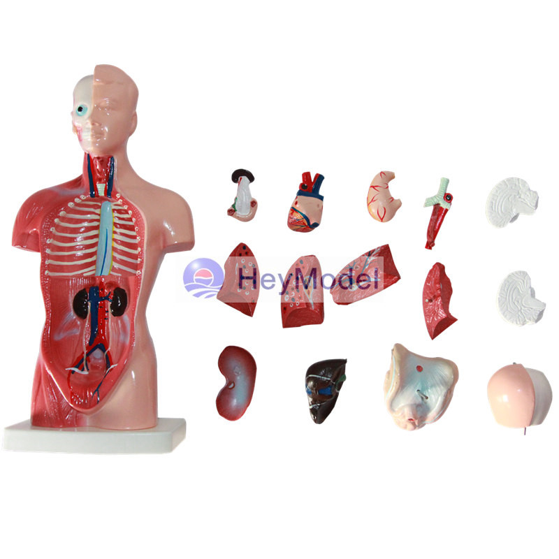 Human Torso Organs Wholesale, Organ Suppliers - Alibaba