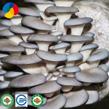 Oyster mushroom seeds for sale grain spawn new type, View oyster mushroom  seeds for sale, Qihe Product Details from Shandong Qihe Bio Technology Co ,