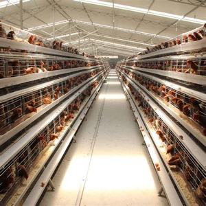 Layer upon layer egg chicken cage with automatic egg picking machine