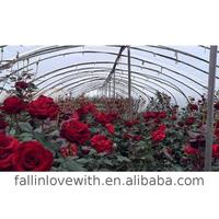 Cut roses at low prices in Alibaba for sale