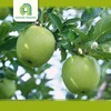 Hot selling plastic green apples wholesale exporter of chinese with high quality