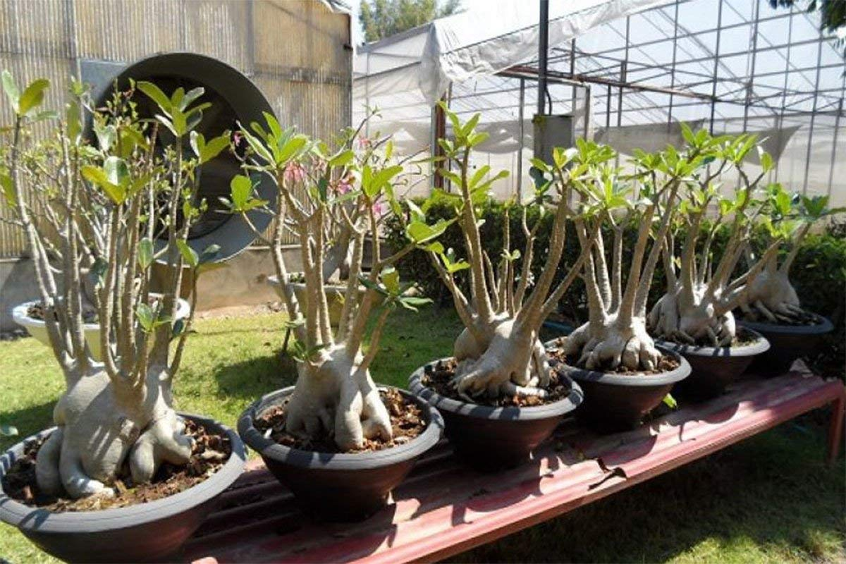Rare Adenium Arabicum RCN Desert rose bonsai Big Plants 8 inch pot Registered