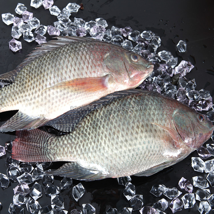 FROZEN TILAPIA WHOLE ROUND 500-800G CHINA SUPPLIERS