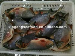 red pacu fish