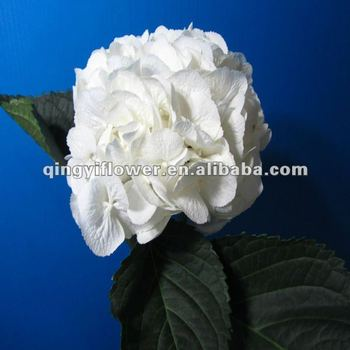 Fresh cut flowers white color hydrangea from kunming yunnan buy fresh cut flowers white color hydrangea from kunming yunnan mightylinksfo