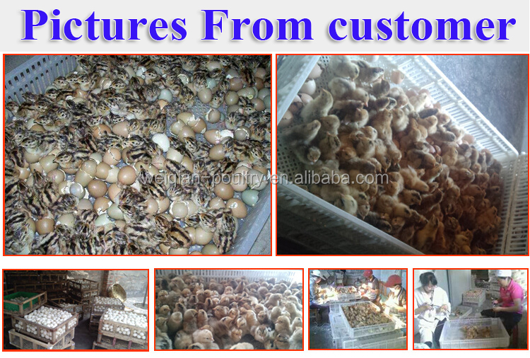poultry farming equipment hatcheries eggs in algiers price 3000 chicken  eggs, View hatcheries eggs in algiers price, Weiqian Product Details from