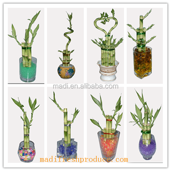 aquatic plants small chinese lucky bamboo wholesale
