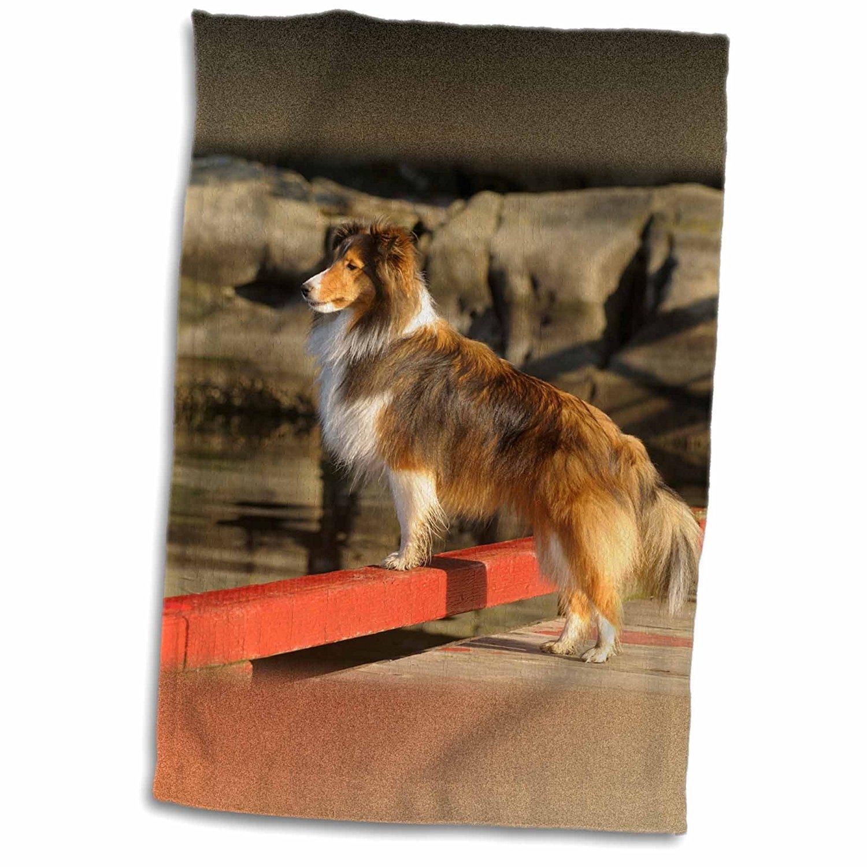 3dRose Danita Delimont - Canada - Canada, British Columbia, Wallace Island. Sheltie on dock - 12x18 Towel (twl_226851_1)